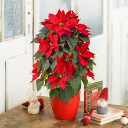 【日比谷花壇】【クリスマス】「紅白ポインセチアのリング仕立て」