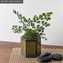 <日比谷花壇>プリザーブド観葉植物「和風アジアンタム」