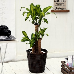 【日比谷花壇】観葉植物「幸福の木バスケット」M