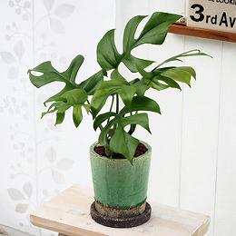【日比谷花壇】観葉植物「ヒメモンステラ(S)」