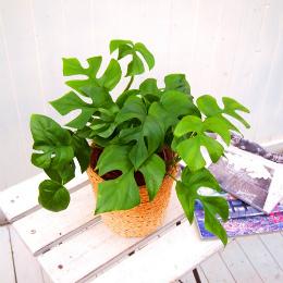 <日比谷花壇>観葉植物「ヒメモンステラ・バスケット」