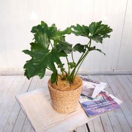 <日比谷花壇>観葉植物「セローム・バスケット」