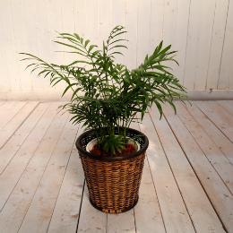 <日比谷花壇>観葉植物「テーブルヤシ・バスケット」