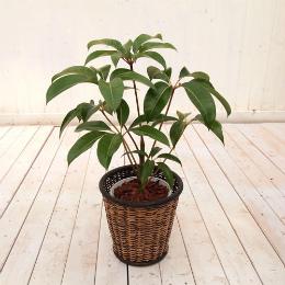 <日比谷花壇>観葉植物「ツピタンサス・バスケット」