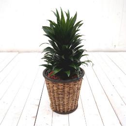 <日比谷花壇>観葉植物「ドラセナコンパクタ・バスケット」