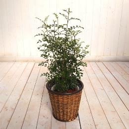 <日比谷花壇>観葉植物「トネリコ・バスケット」