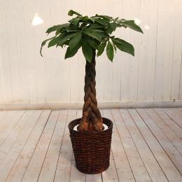 <日比谷花壇>観葉植物「パキラ(M)・バスケット」