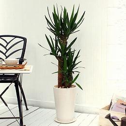 日比谷花壇〈日比谷花壇〉観葉植物「青年の木(L)・ホワイトポット」