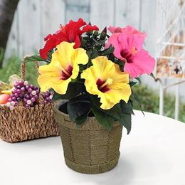 【日比谷花壇】季節の花鉢 ハイビスカス「トロピカル」