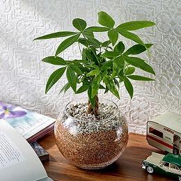 【日比谷花壇】環境にやさしいエコスギ観葉植物「編み込みパキラ」