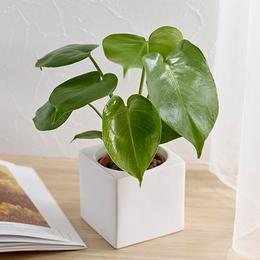 <日比谷花壇>お手入れかんたん観葉植物「モンステラ(スクエアホワイト)」