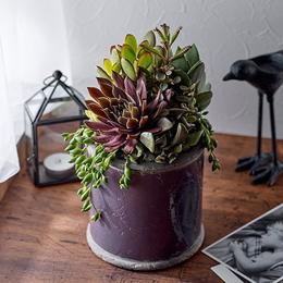 <日比谷花壇>多肉植物寄せ植え「アンティークポット・パープル」