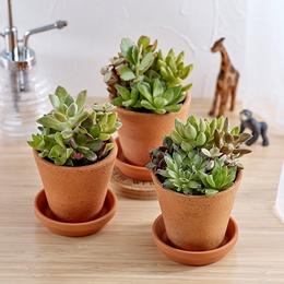 <日比谷花壇>多肉植物「寄せ植え3個セット」