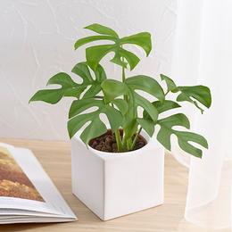 <日比谷花壇>お手入れかんたん観葉植物「ヒメモンステラ(スクエアホワイト)」