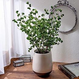 <日比谷花壇>観葉植物「ベンジャミン・バロック」