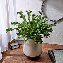 <日比谷花壇>観葉植物「アスプレニウム・レズリー」