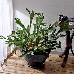 <日比谷花壇>観葉植物「コウモリラン・ジャパネスク」