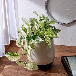 <日比谷花壇>観葉植物「ポトス・マーブル」
