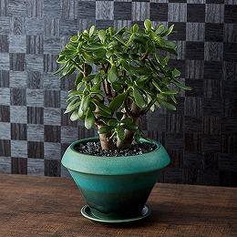 観葉植物「カネノナルキ」