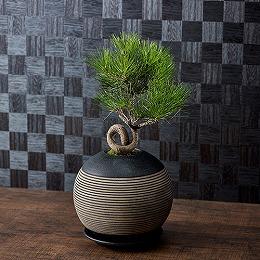 日比谷花壇【日比谷花壇】観葉植物「曲がり黒松」