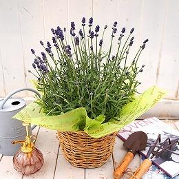 <日比谷花壇> 季節の花鉢「イングリッシュラベンダー」