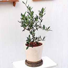 <日比谷花壇>観葉植物「オリーブ」