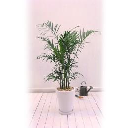 <日比谷花壇>観葉植物「メキシコケンチャヤシ」