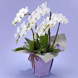 <日比谷花壇>【お供え用】ミディ胡蝶蘭(ホワイト)5本立ち