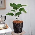 【日比谷花壇】観葉植物「ウンベラータ6号・バスケット」