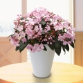 【日比谷花壇】におい桜「舞」