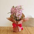季節の花鉢 デンドロビウム「ハマナレイク マキ」