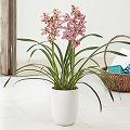 蘭鉢「テーブルシンビジューム」(ピンク系)